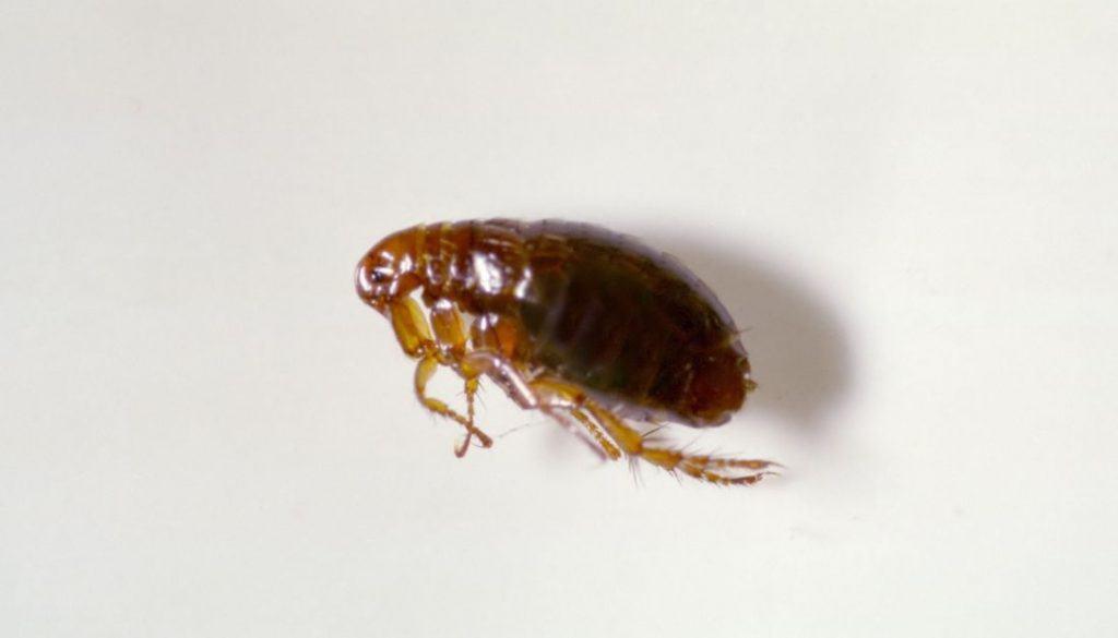 How To Get Rid Of Fleas On Hardwood Floors