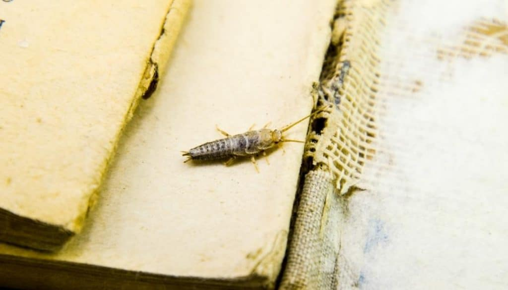 Are silverfish bad for your home