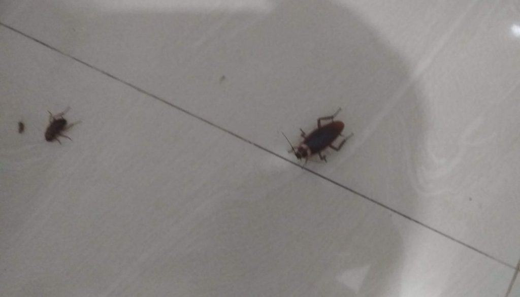 A Dead Squish Roach Attracting Other Roach