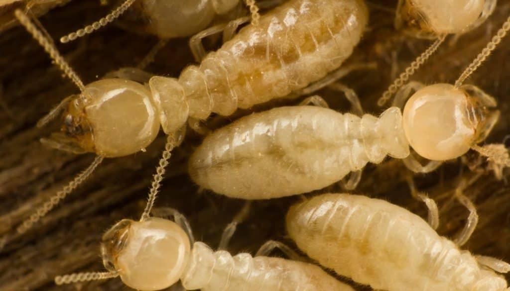 Drywood Termites