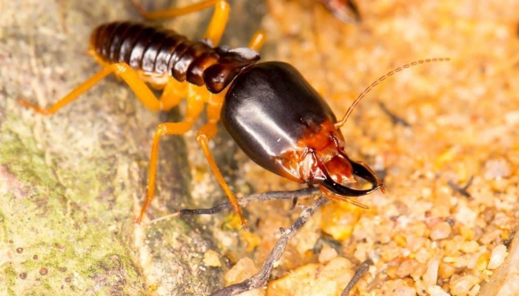 Formosan Soldier Termite