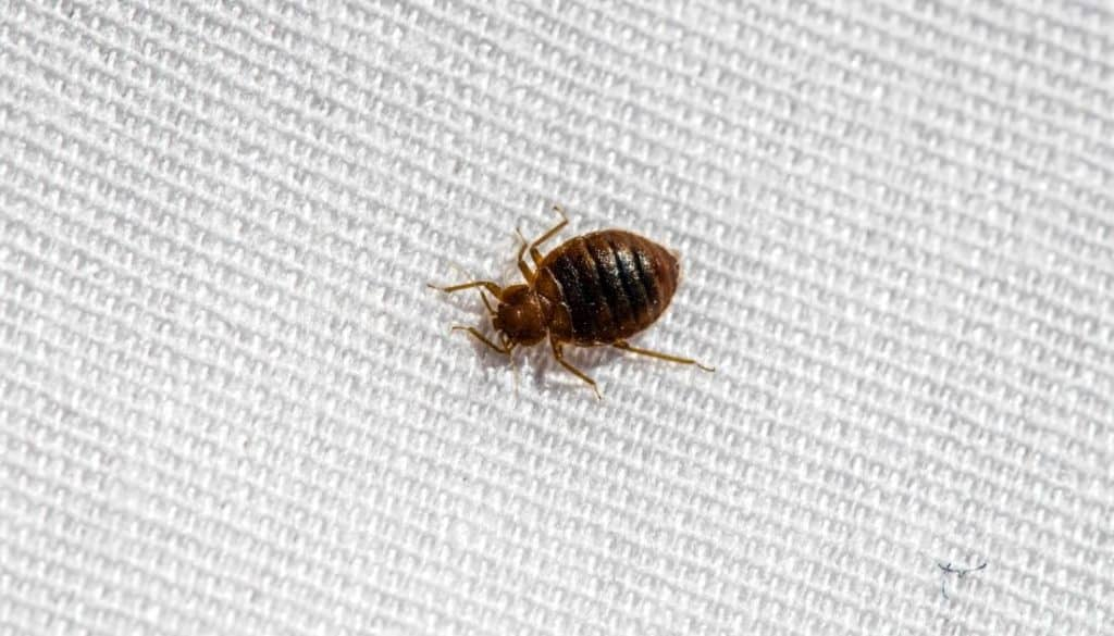 How To Get Rid Of Bed Bugs On A Tight Budget In 2021
