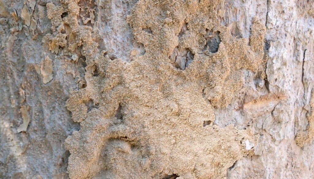 Termite Mud Pies On Ground