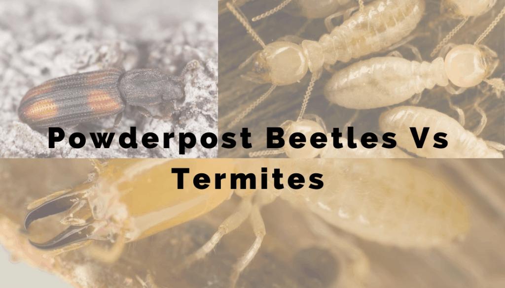 Powderpost Beetles Vs. Termites