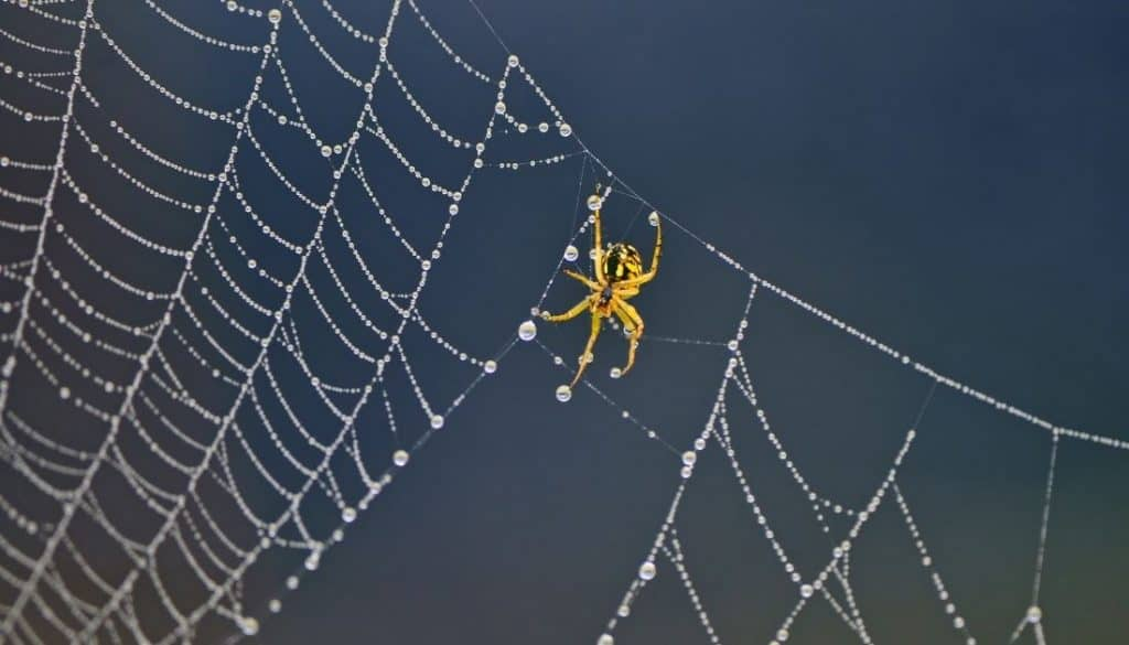 Spiders In A Web