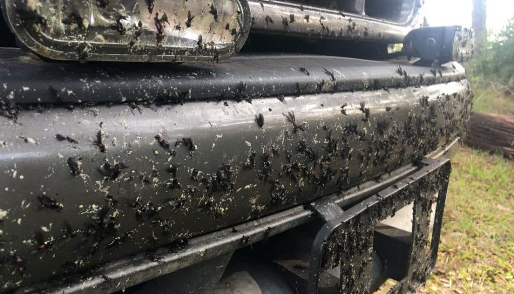 Splattered Lovebugs on a car in Florida