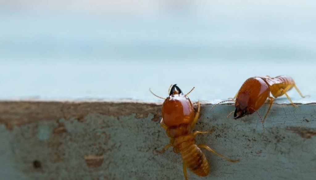 Termites On Mobile Home Skirtings