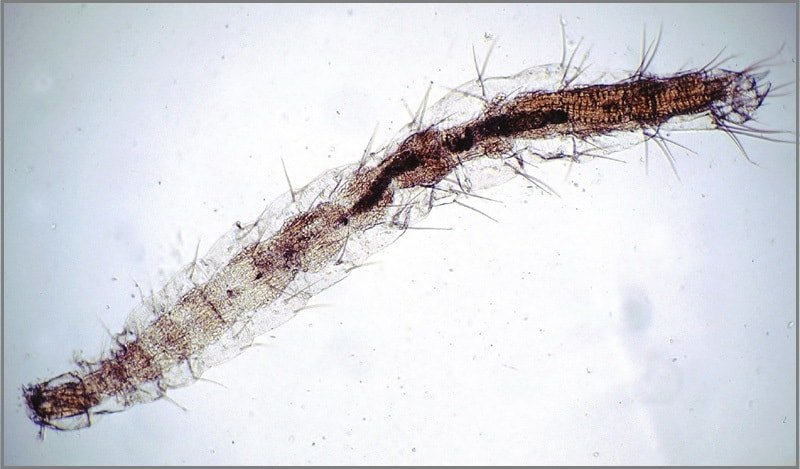 flea larva