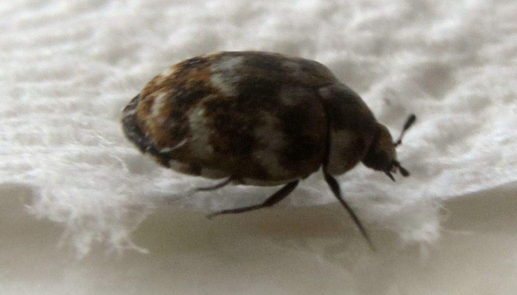 Adult Carpet Beetle On Bed