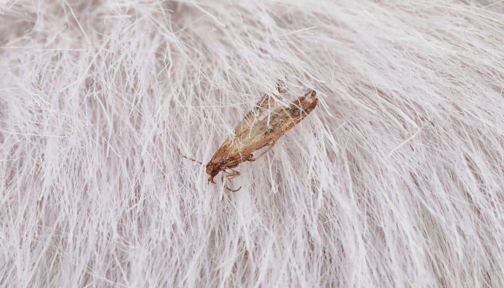 Adult Cloth Moth In Fur coat