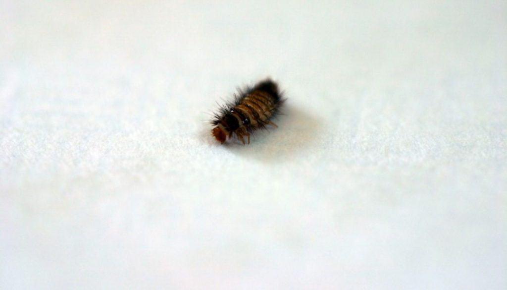 Carpet Beetle In Bed