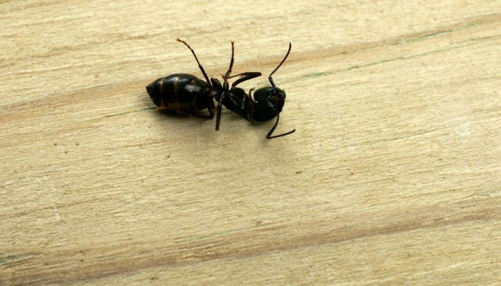 Dead Carpenter Ants In House