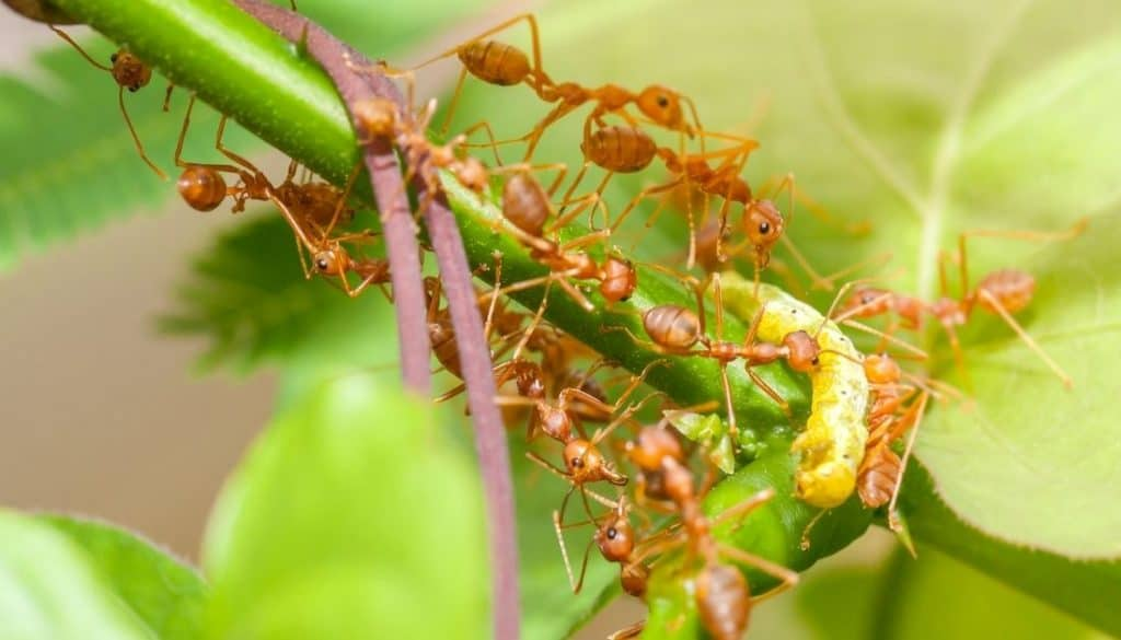 California bugs that bite - Fire ants