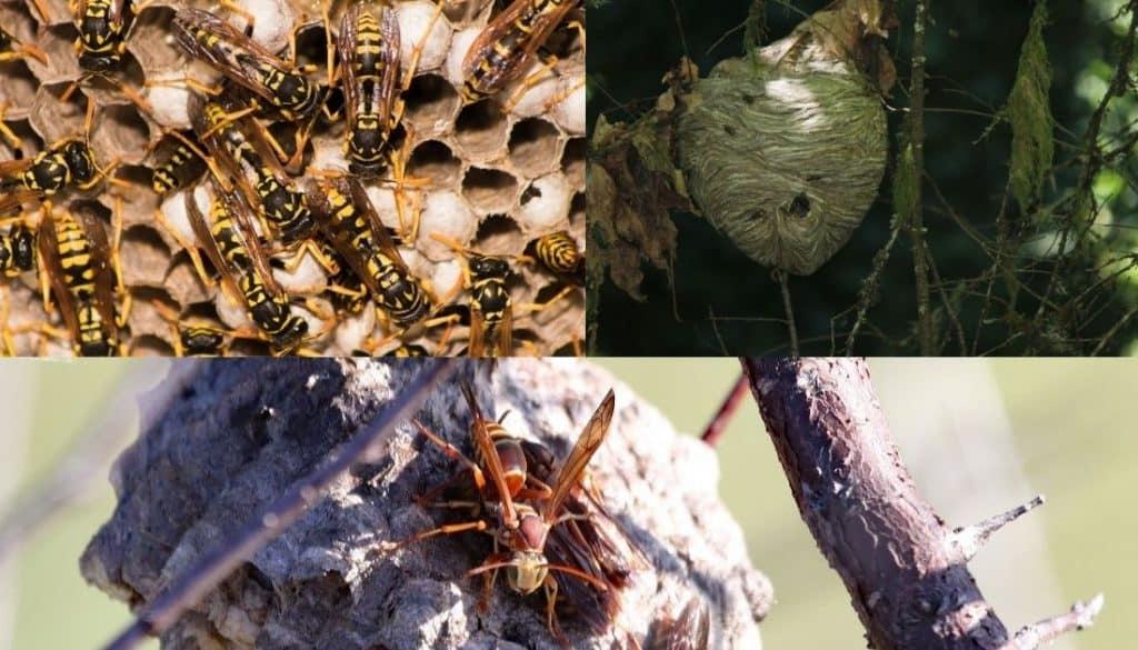 Hornet Nest Vs Wasp Nest