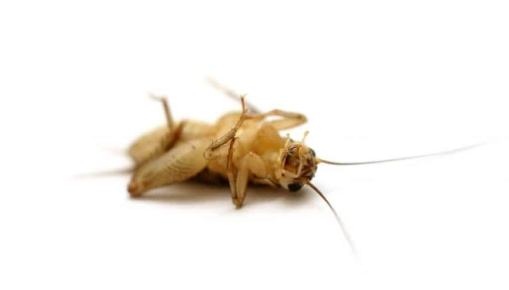 How To Get Rid Of House Crickets