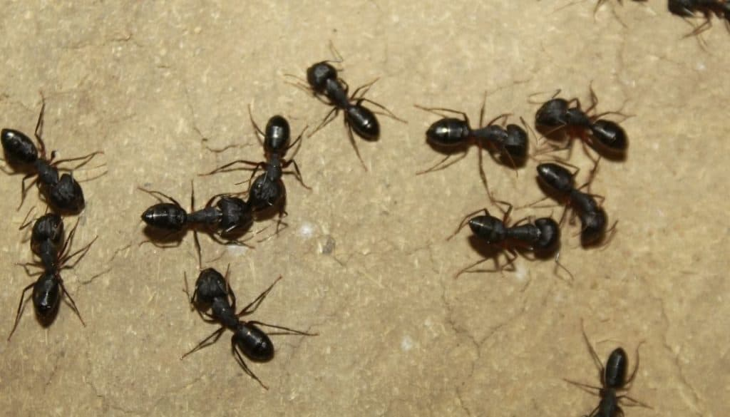How to prevent carpenter ant infestation in your home