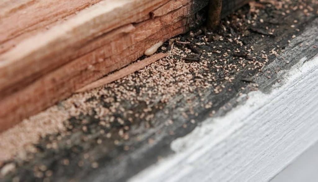 Termite Feces Frass