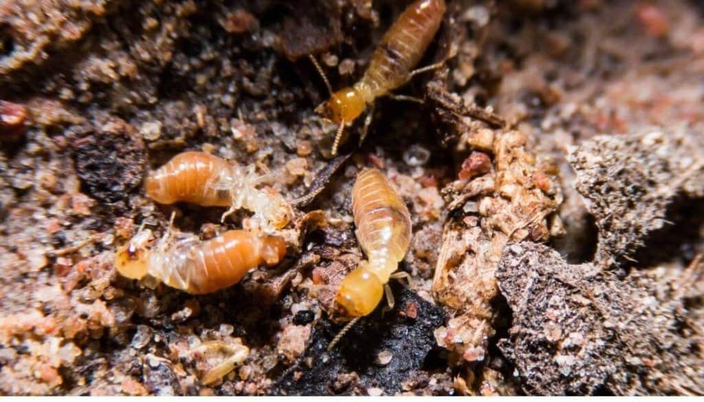 Termites In Yard
