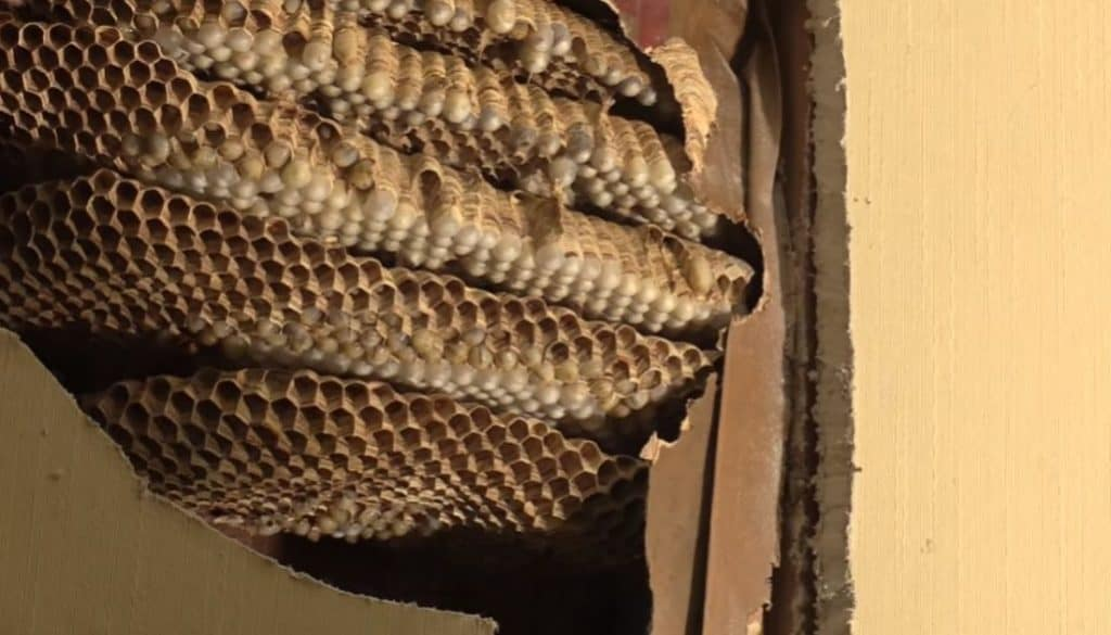 How To Find A Wasp Nest In Your Wall