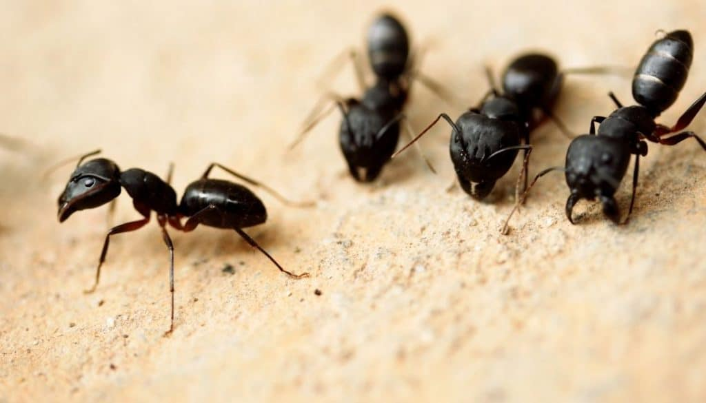 What attracts carpenter ants in a home