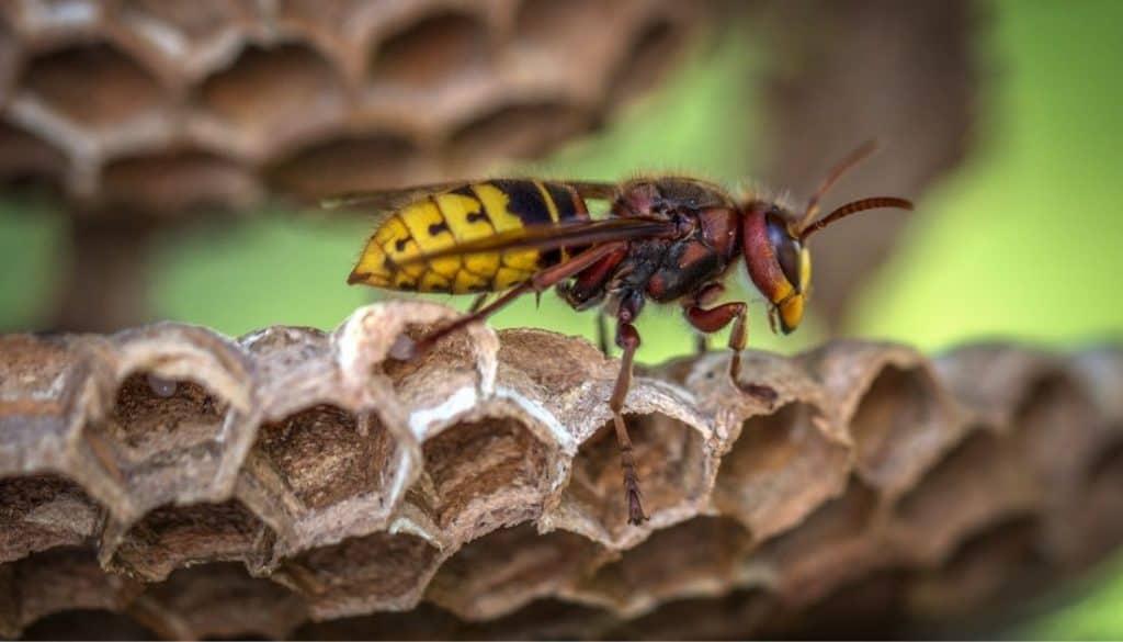 Where do wasps make nest
