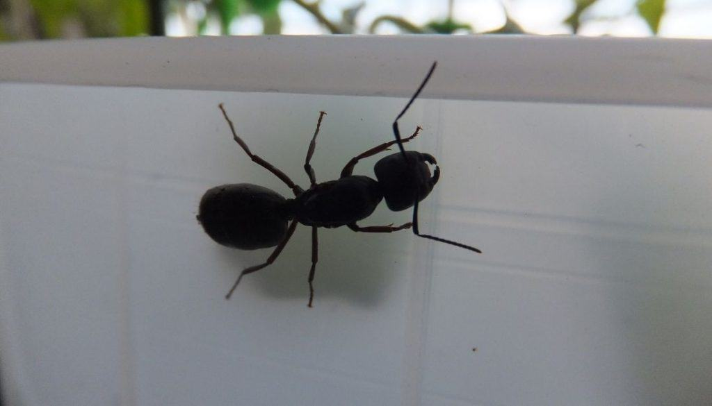 Why Carpenter Ants Keep Coming Back