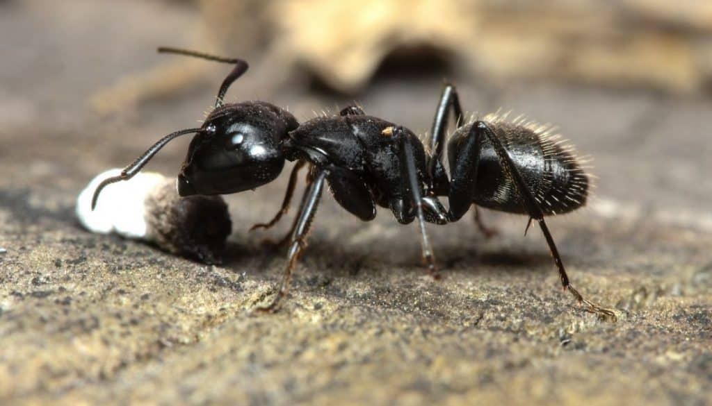 Carpenter Black Ant