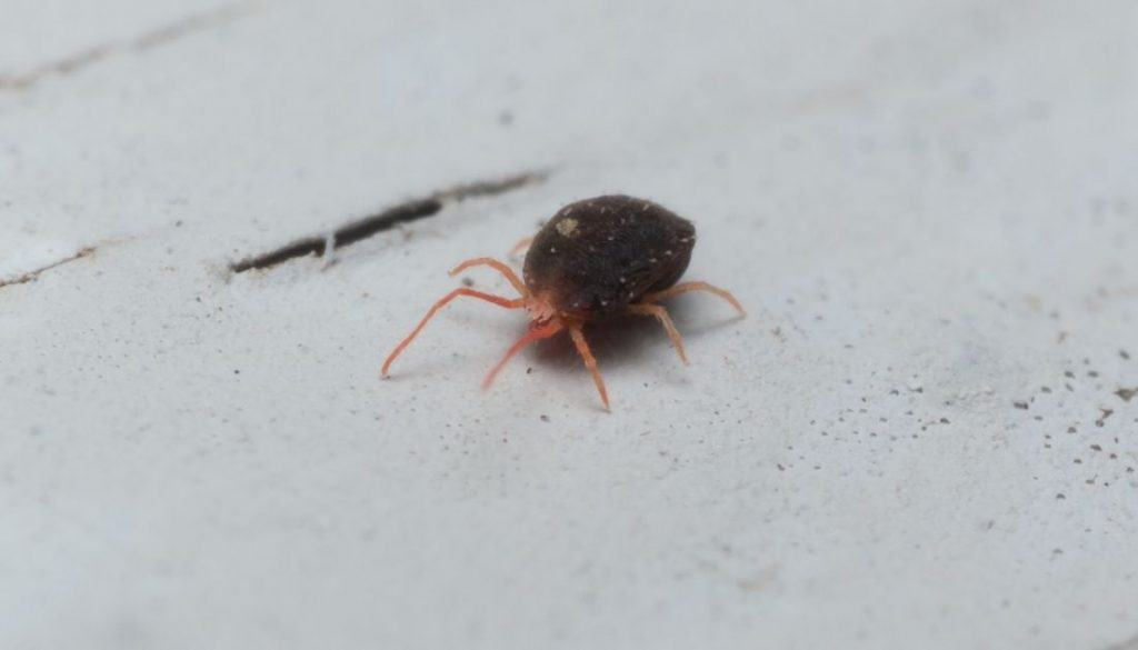 Clover mites in bed