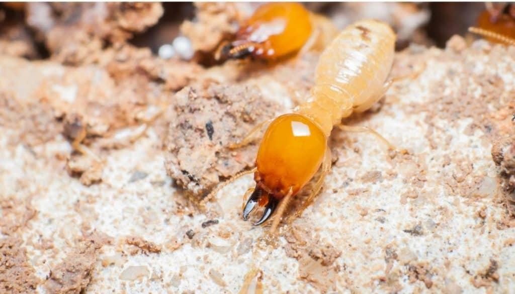 Do Ants Eat Termties