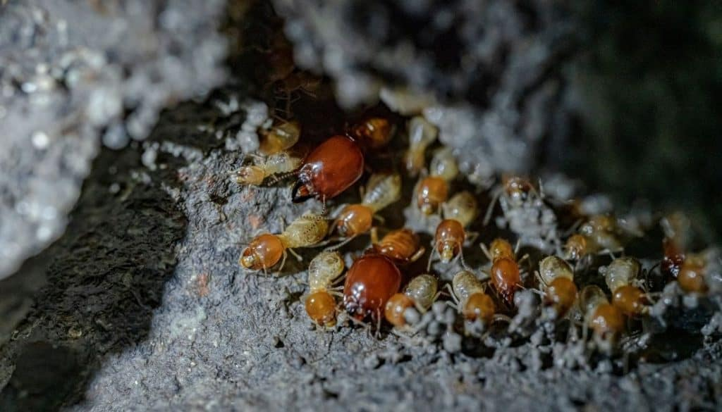 How subterranean termites spread from house to house