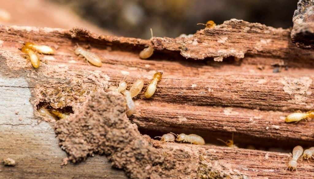 why termites avoid mulches