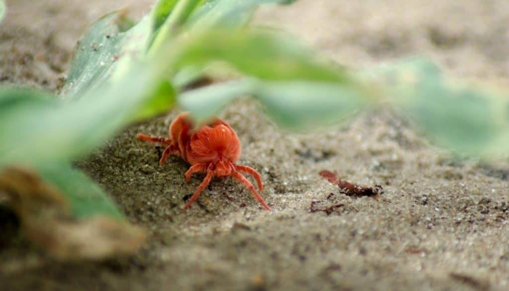 Where do clover mites come from