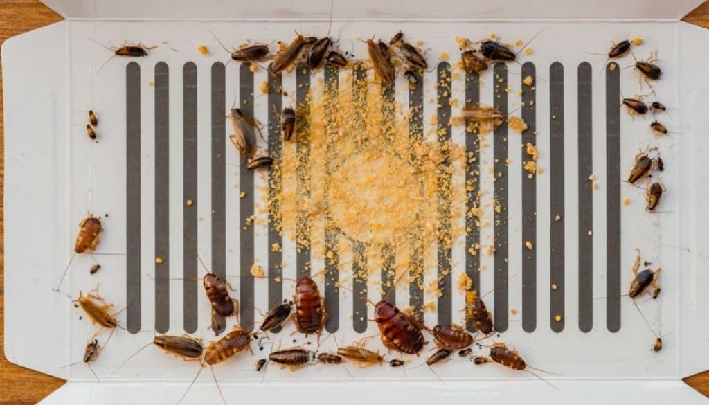 cockroaches stuck on sticky roach bait