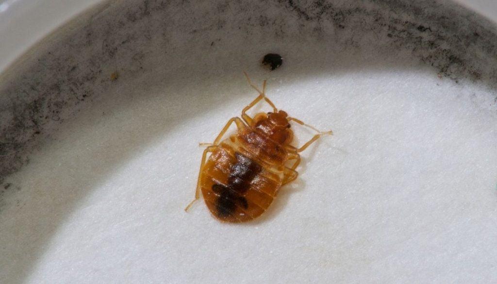 Bed bug in a bed bug interceptor