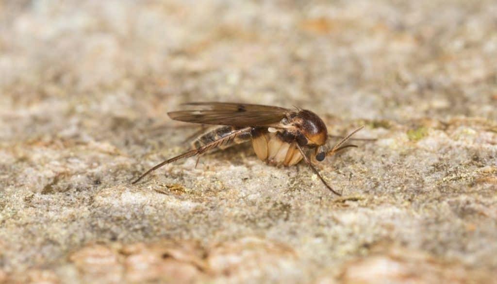 Does epsom salt kill fungus gnats