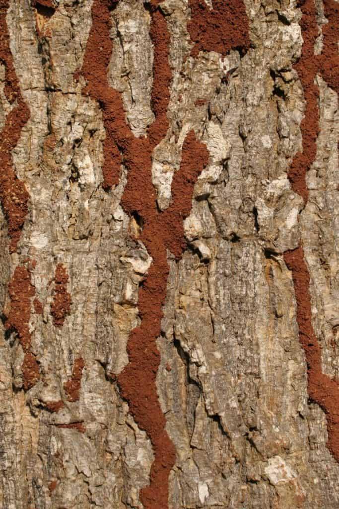 Termite Mud Tubes On Trees