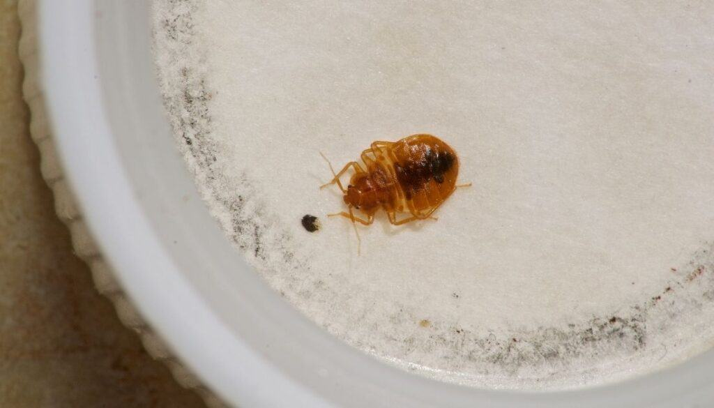 Trapped bed bug in a bed bug interceptor