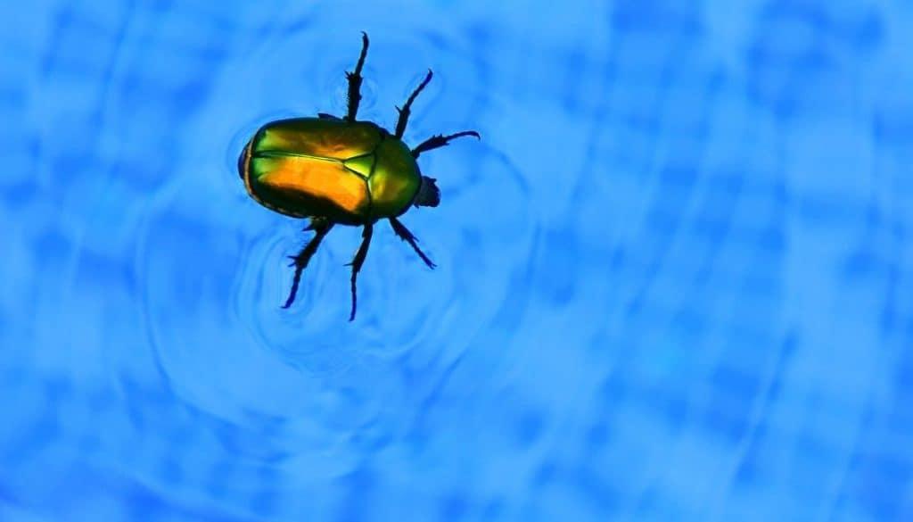 Types of swimming pool bugs