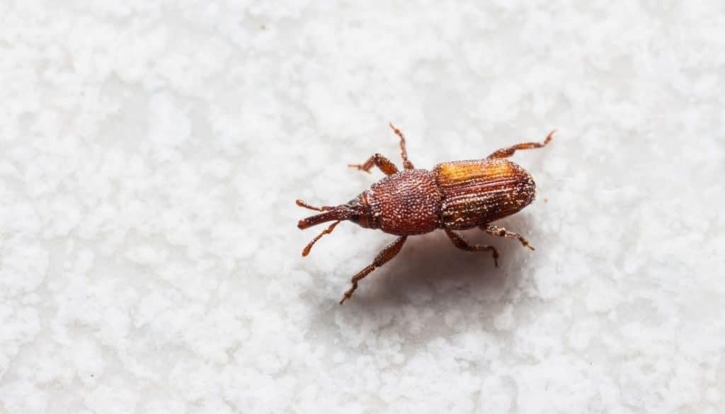 Weevils In Bathroom