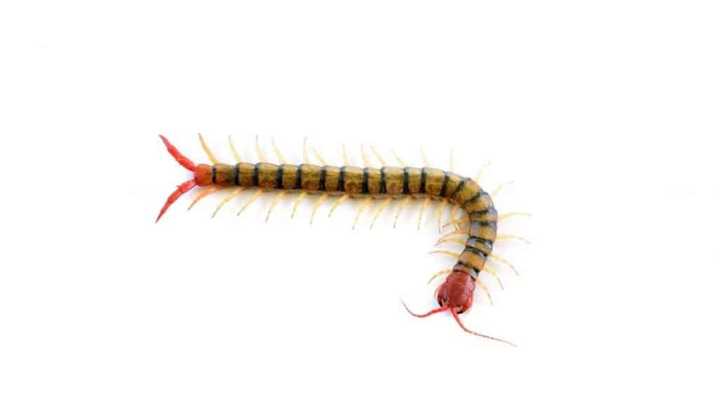 Can centipedes crawl into your ear