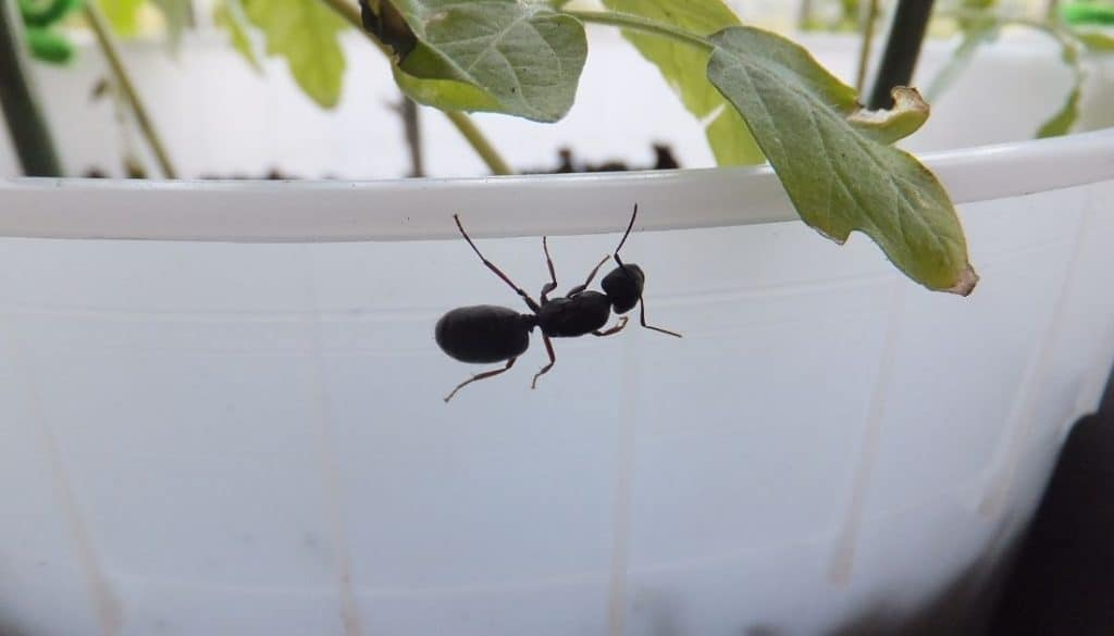 ants in potted plants good or bad