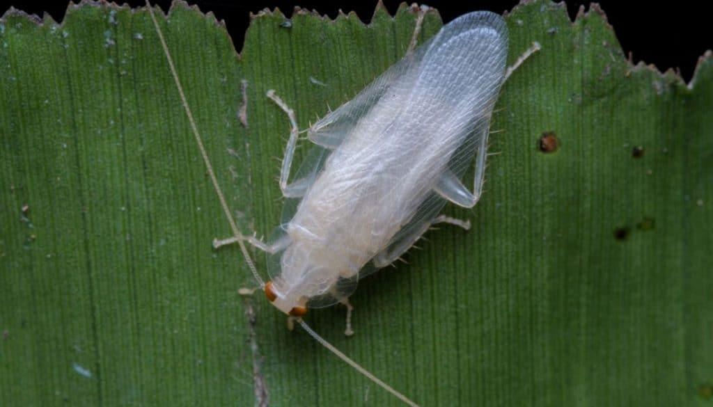 Are White Roaches Poisonous