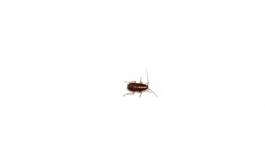 Baby German Roach