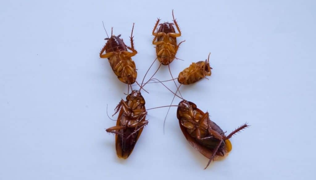 Dead Roaches Sign of roach infestation