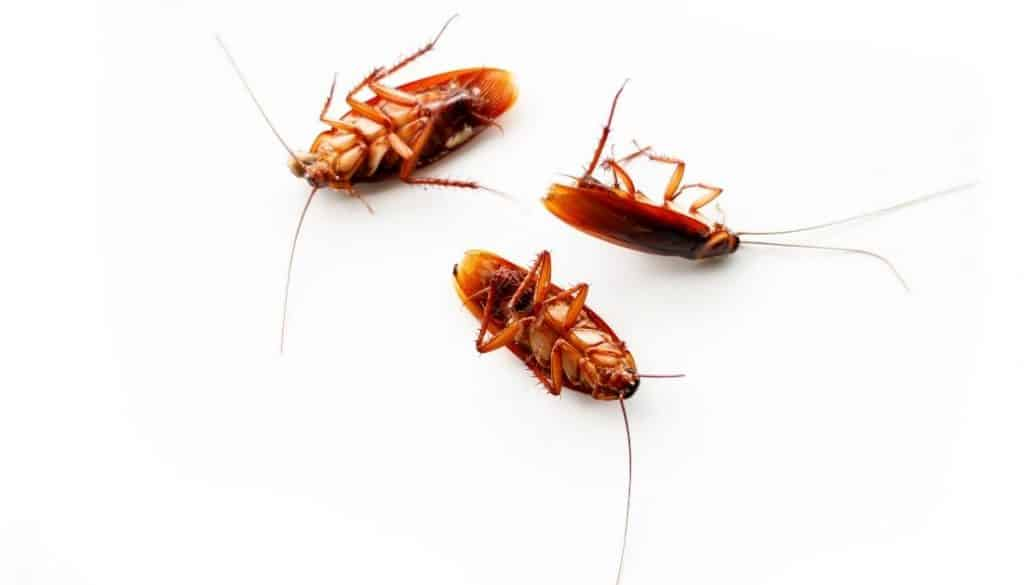 Low Risk Cockroach Control
