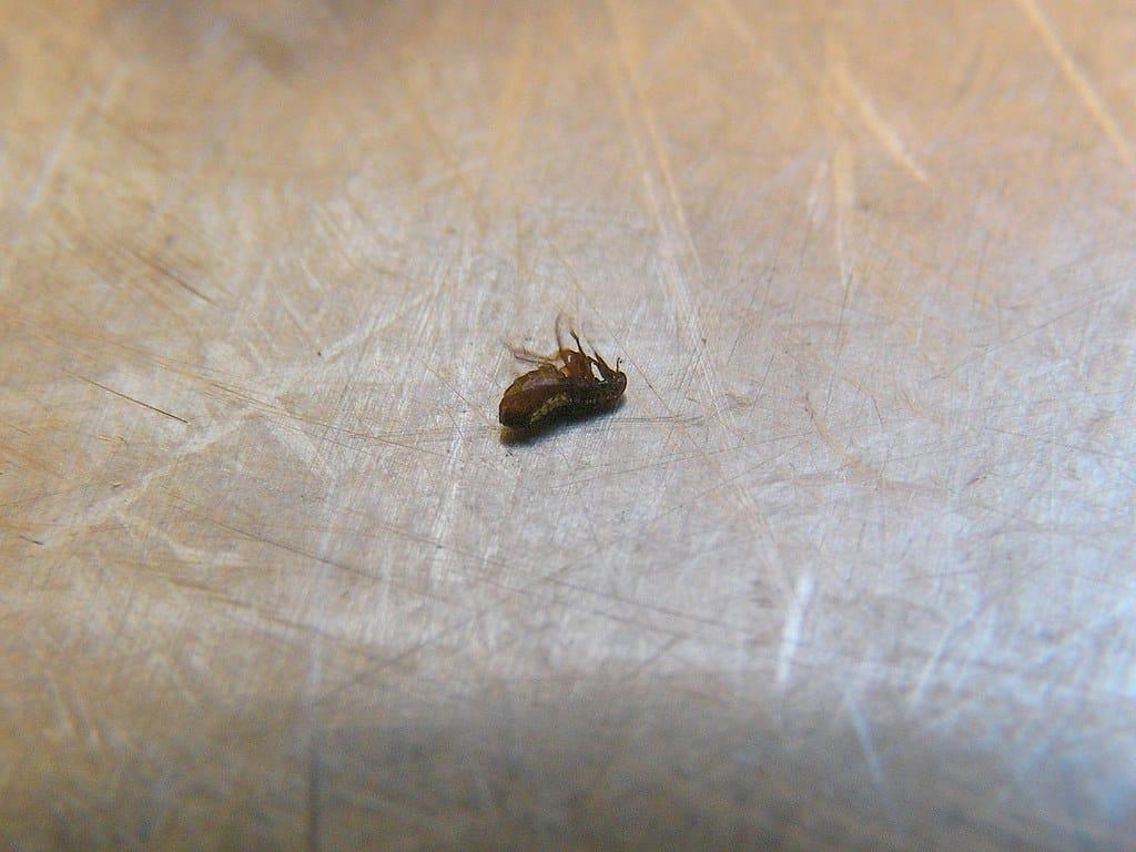 remove fleas in bed