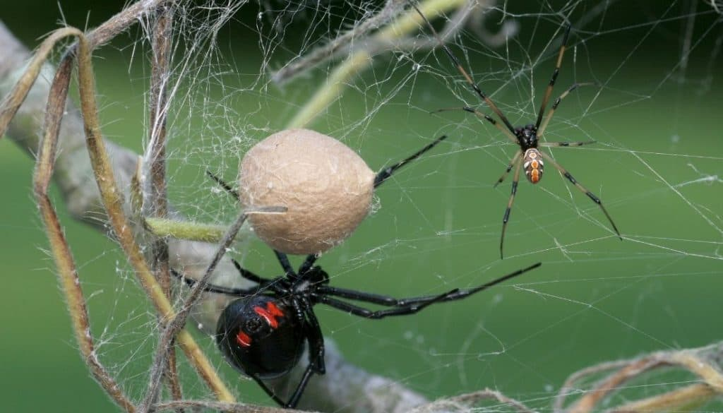 Black widow spider egg sac