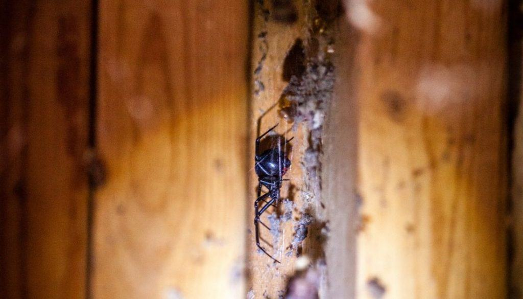 Black widow spider hiding