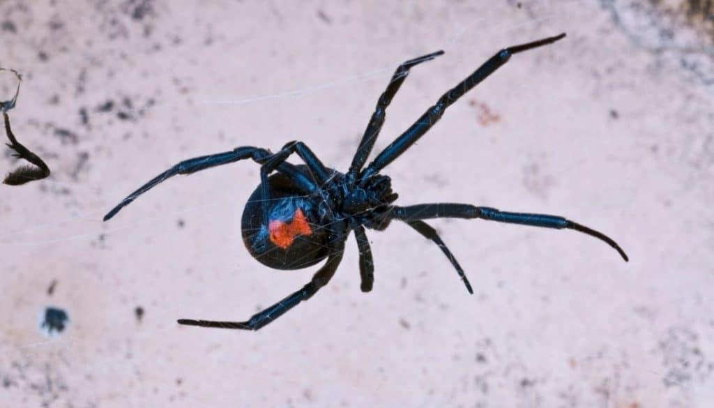 Black widow spider infestation signs
