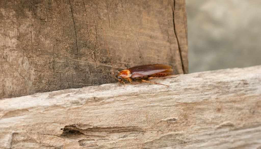 Can roaches eat through wood